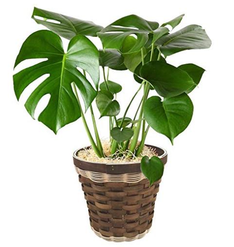 風水的に観葉植物を選んでみる!運気アップの方法!種類や ...